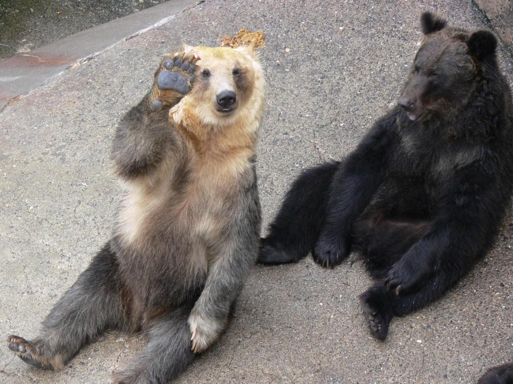 медведи Хоккайдо