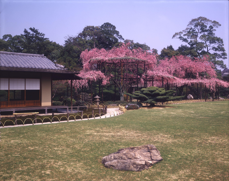 символ Японии сакура