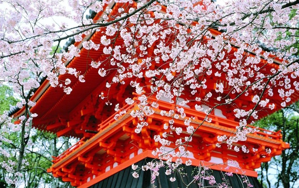 цветение сакуры в Киото