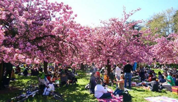 - Parc de sceaux cerisiers en fleurs 2017 ...