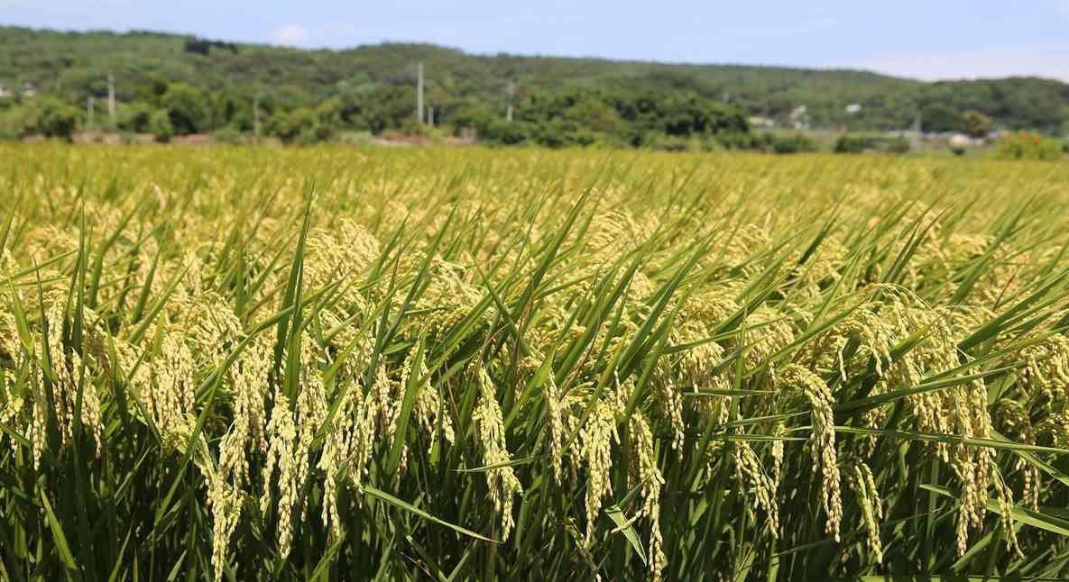 рис в японской кухне