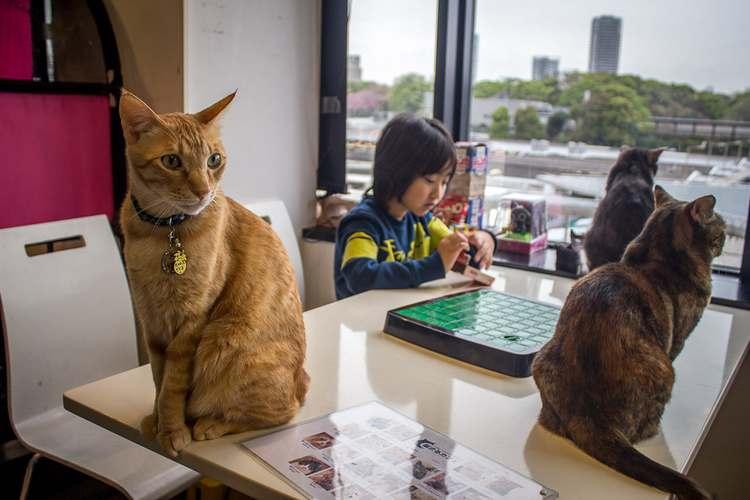 кафе кошек в Японии