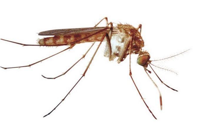 японский комар